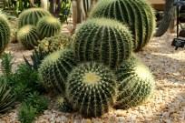 Golden Barrel Cactus. Echinocactus grusonii.