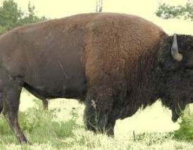 Bison buffalo extinction hunted