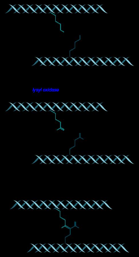 Tropocollagen_cross-linkage_lysyl_oxidase