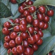 The FDA Raids the Cherry Orchards