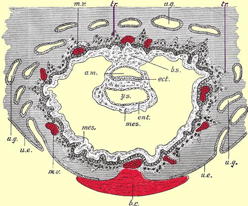 Trophoblast