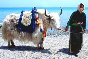 Woman with yak at Qing