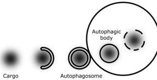 Autophagosome_conceptual_Model