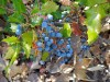 Oregon Grape Berberine Jeffrey Dach MD - Berberine Antidote for a Modern Epidemic