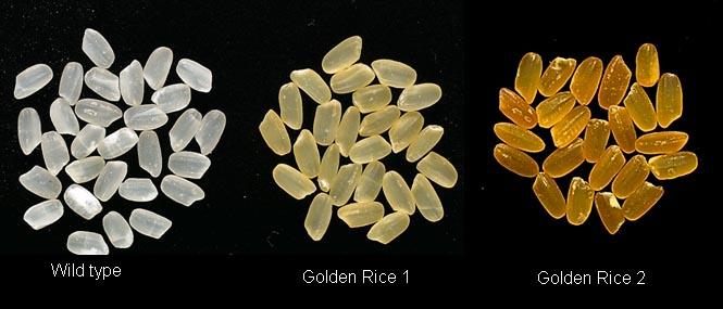 Golden Rice Tang China GMO Beta Carotene