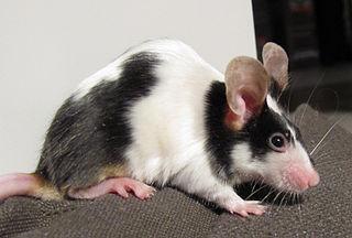 william-summerlin-science-fraud-black-fur-on-mouse