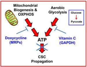 Vitamin C Doxycycline FIG 12 zz