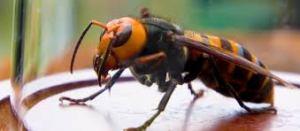 Image of an Asian giant hornet