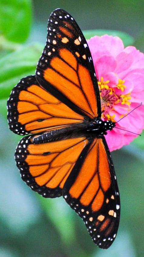 10 Monarch