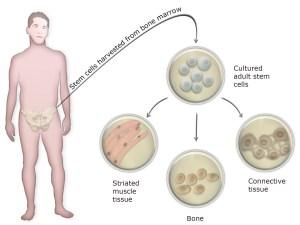 stemcelluse