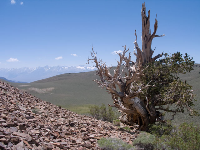 Bristlecone Pine and the Sierra
