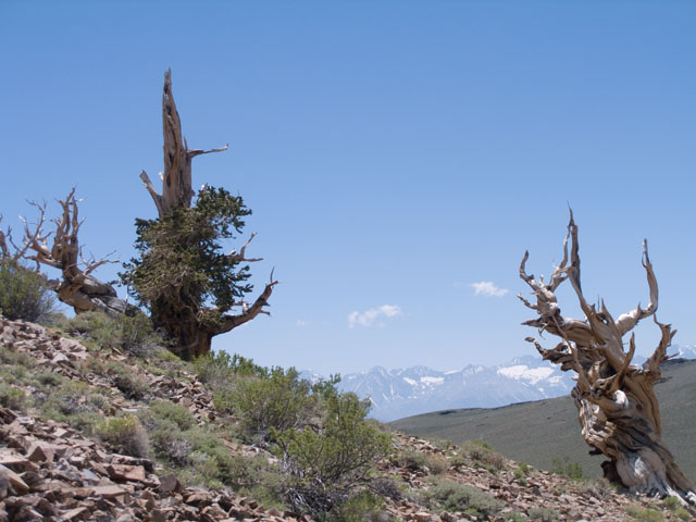 Bristlecone Pines and the Sierra