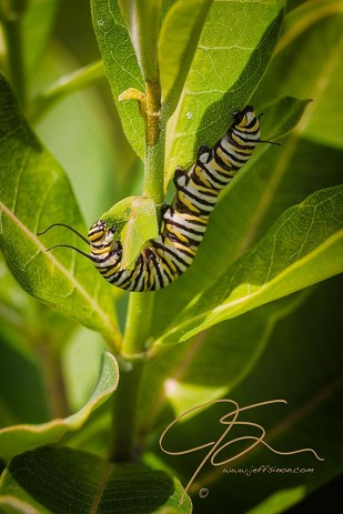 The black, yellow, and pale green striped monarch butterfly caterpillar feeding on milkweed