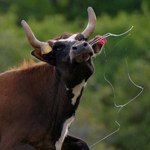 Longhorn cow leaping in the air with spit flying - Jeff Wendorff Photographer