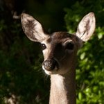 Deer at Block Creek - Jeff Wendorff Photographer
