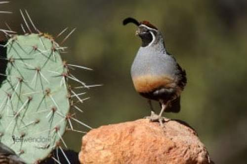 Gambel's Quail photographed by Jeff Wendorff
