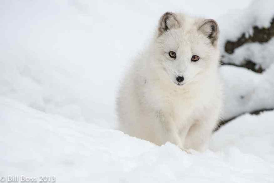 Arctic Fox by Bill Boss, client 2013