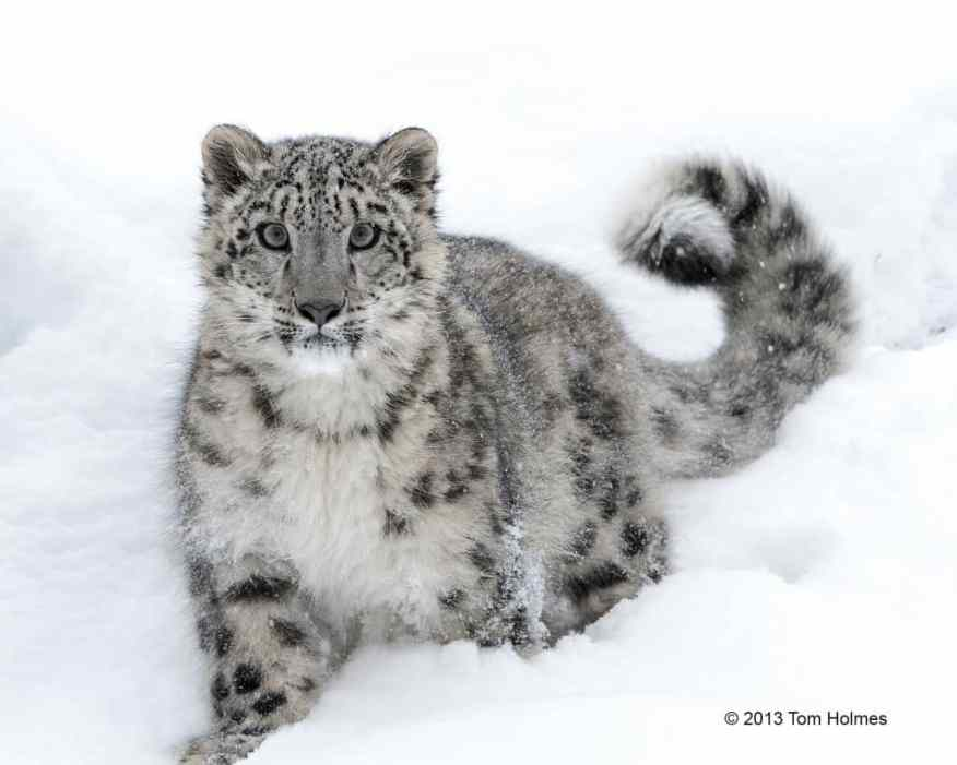 Snow Leopard by Tom Holmes, client 2013
