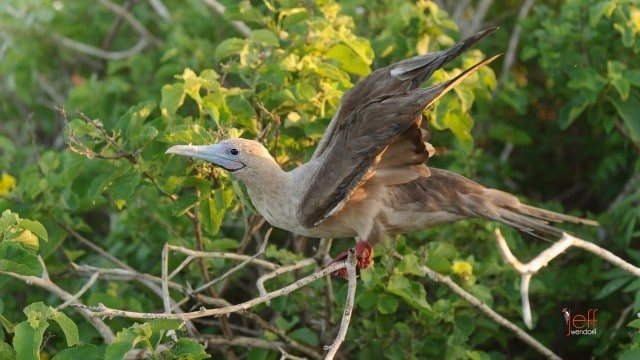 Red-footed Booby photography by Jeff Wendorff