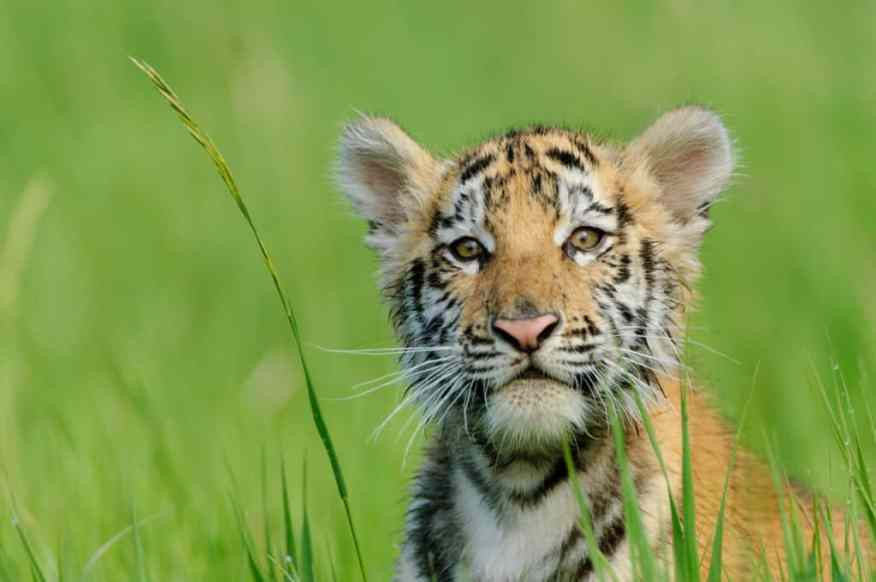 Tiger cub from Wildlife Photography Workshop photographed by Jeff Wendorff