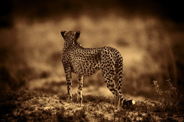 Hunting Cheetah photographed by Jeff Wendorff