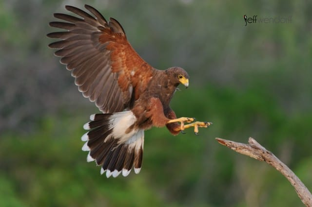 Harris's Hawk landing during South Texas Bird Photography Workshop photographed by Jeff Wendorff