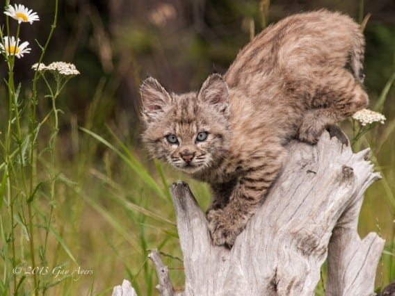 Baby Wildlife Photography Workshop client images Baby Bobcat by Gay Ayers
