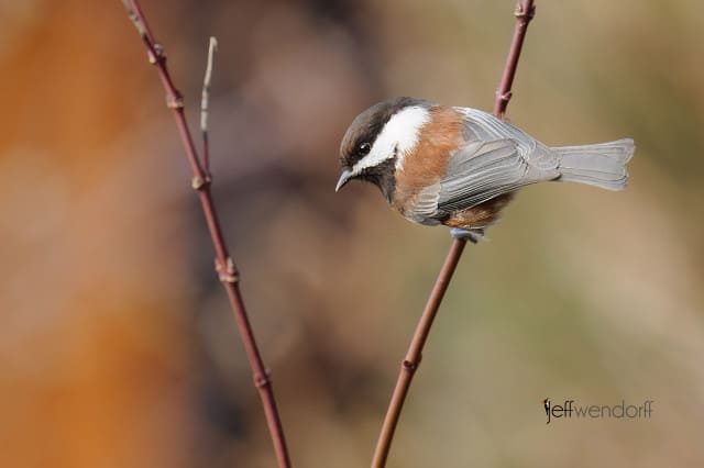 Chestnut-backed Chickadee, Poecile rufescens photographed by Jeff Wendorff