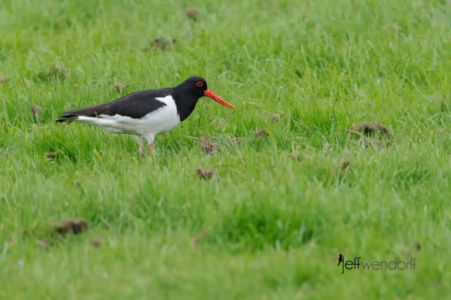 Eurasian oystercatcher, Haematopus ostralegus also known as the Common Pied Oystercatcher photographed by Jeff Wendorff