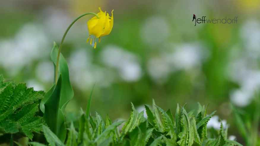 Glacier Lily at Logan Pass - Glacier National Park photographed by Jeff Wendorff