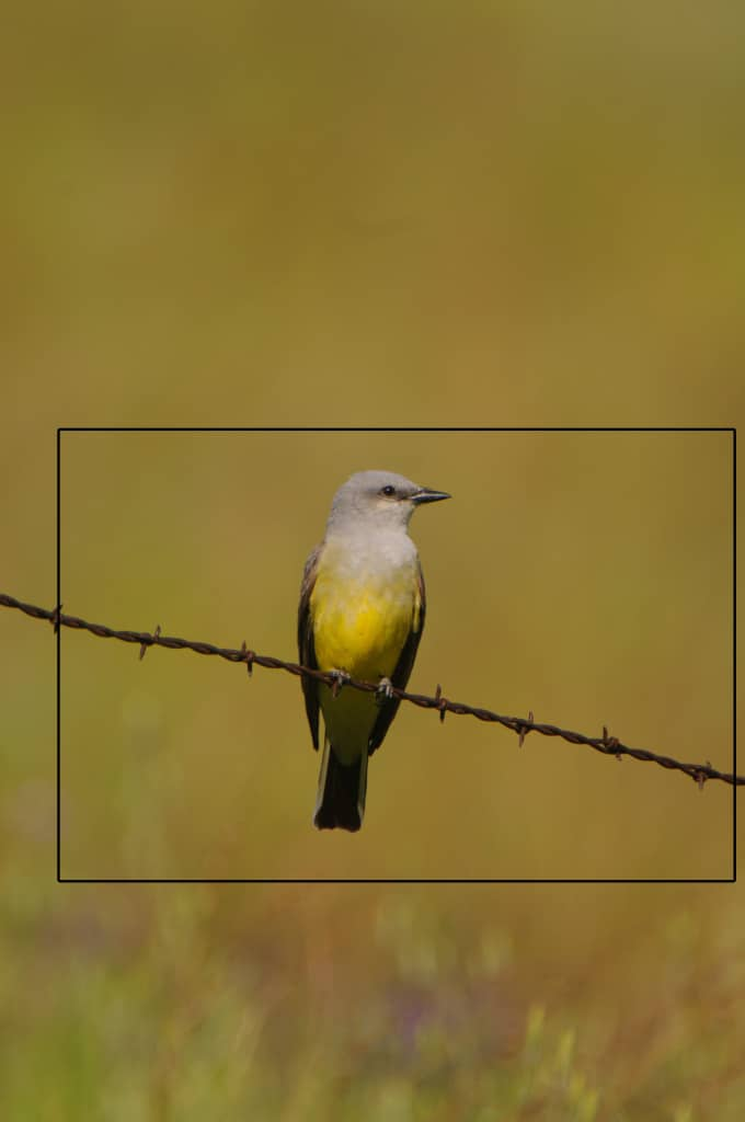 A horizontal crop didn't show the pretty background on this Western Kingbird photographed by Jeff Wendorff
