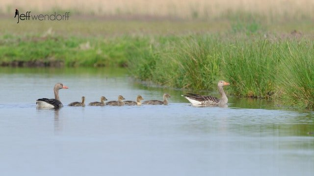 Greylag Goose, Anser anser family with chicks photographed by Jeff Wendorff