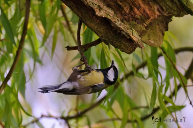 Great Tit, Parus major photographed by Jeff Wendorff