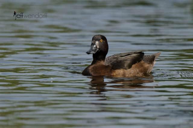 Female Tufted Duck, Aythya fuligula photographed by Jeff Wendorff