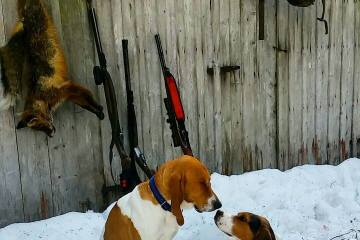 Revejakt med Støver og Hi hund