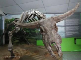 fosil banteng purba Sangiran