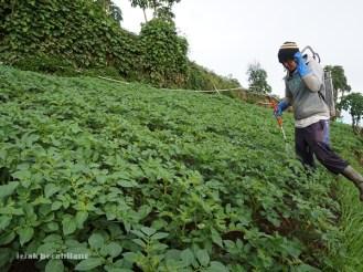 petani kentang Dieng