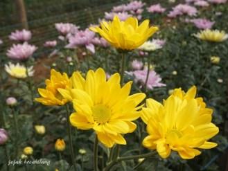 bunga krisan kuning