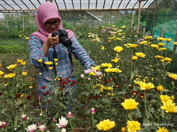 bunga krisan Poncokusumo Malang
