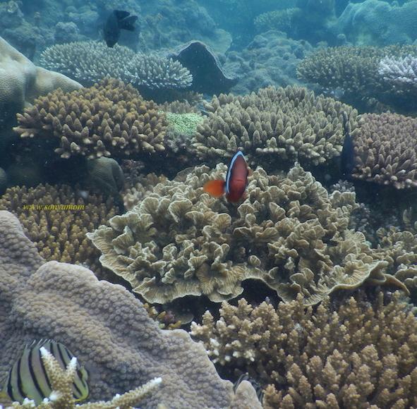 belitung snorkeling coral babel nemo