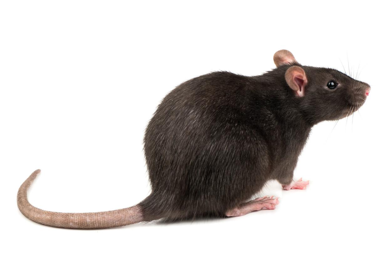 『除老鼠』家裡天花板有老鼠,教你擺脫老鼠大便 | 潔肯國際環保 | 專業除蟲公司,滅鼠,除白蟻,空氣品質