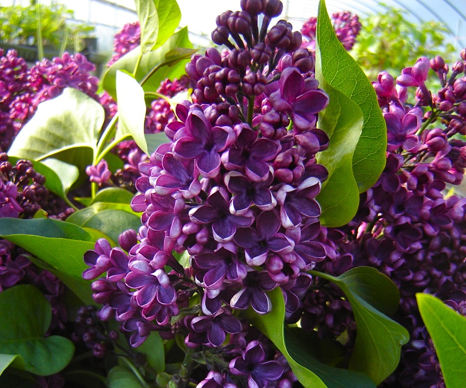 local flowers, American Grown, lilac, Syringa 'Sarah Sands'