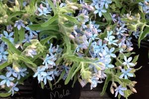 local flowers, American Grown flowers, Oxypetalum, tweedia