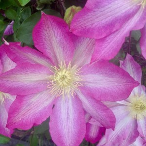 Clematis Asao, cut flower