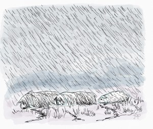 Three cavies struggle through wind and rain