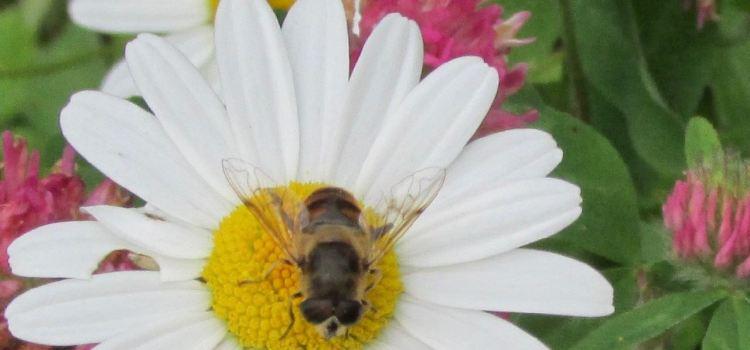 Great British Bee facts #30DaysWild