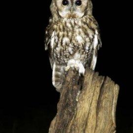 Tawny owl survey (UK) #staywild Volunteers wanted