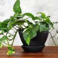houseplant week: how to keep a pothos alive