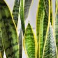 houseplant week: how to keep snake plants alive