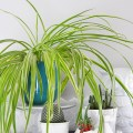 houseplant week: how to keep spider plants alive